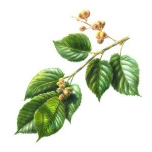 slippery-elm-herbal-remedies
